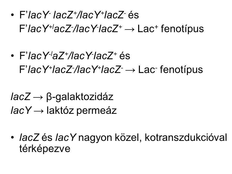 F'lacY- lacZ+/lacY+lacZ- és