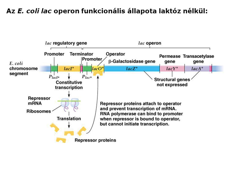 Az E. coli lac operon funkcionális állapota laktóz nélkül:
