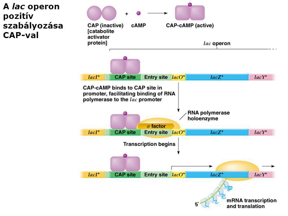 A lac operon pozitív szabályozása CAP-val