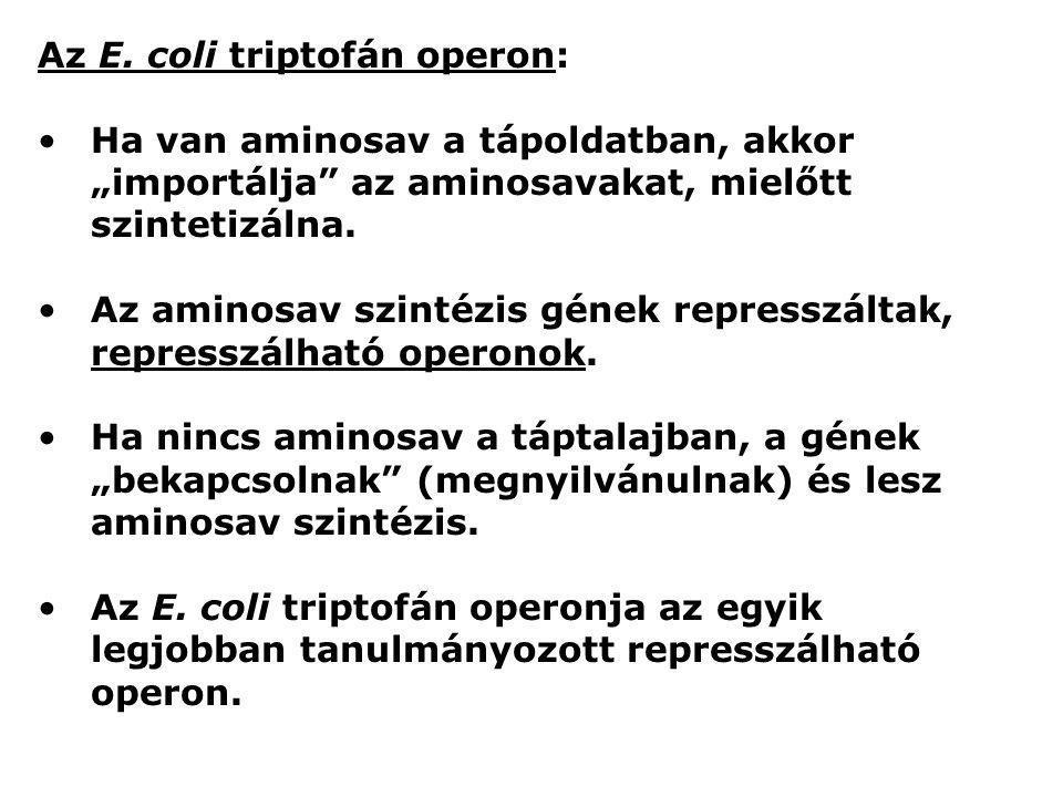 Az E. coli triptofán operon: