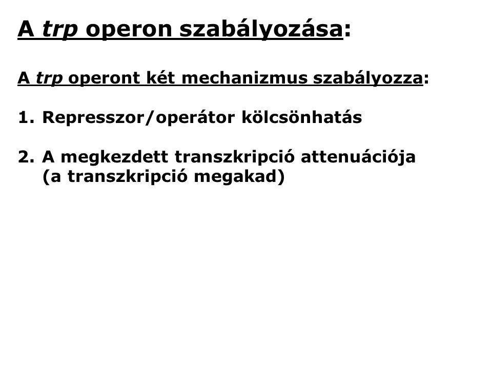 A trp operon szabályozása: