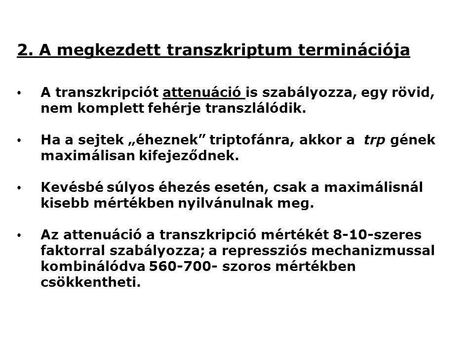 2. A megkezdett transzkriptum terminációja