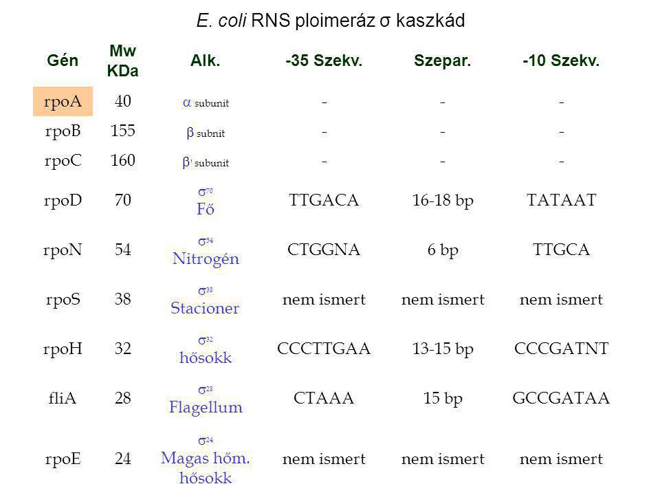 E. coli RNS ploimeráz σ kaszkád