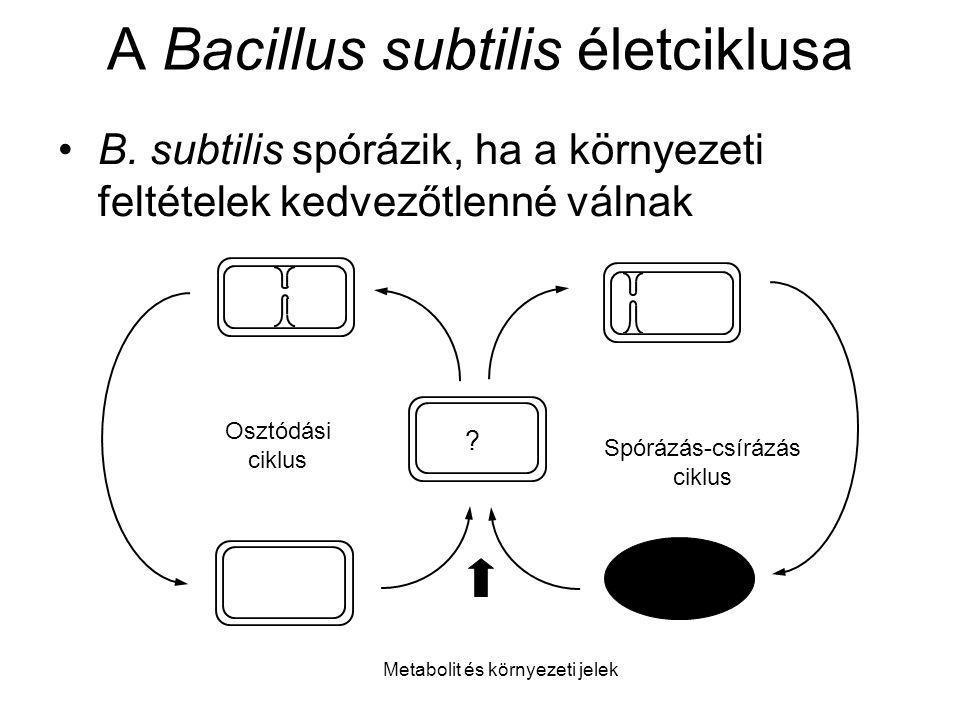 A Bacillus subtilis életciklusa
