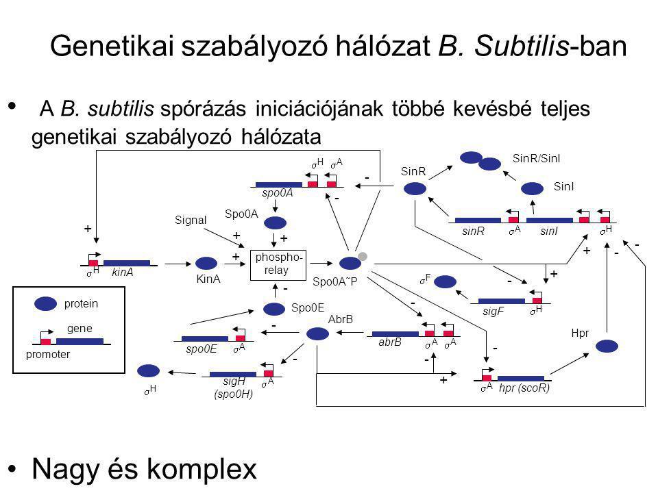 Genetikai szabályozó hálózat B. Subtilis-ban