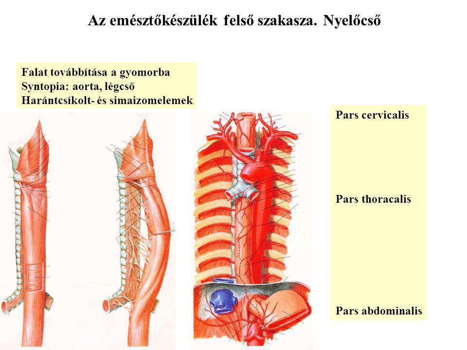 Az emésztőkészülék felső szakasza. Nyelőcső