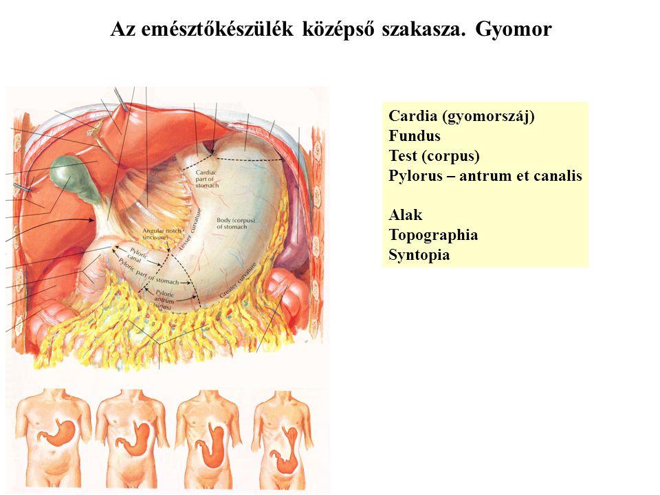 Az emésztőkészülék középső szakasza. Gyomor
