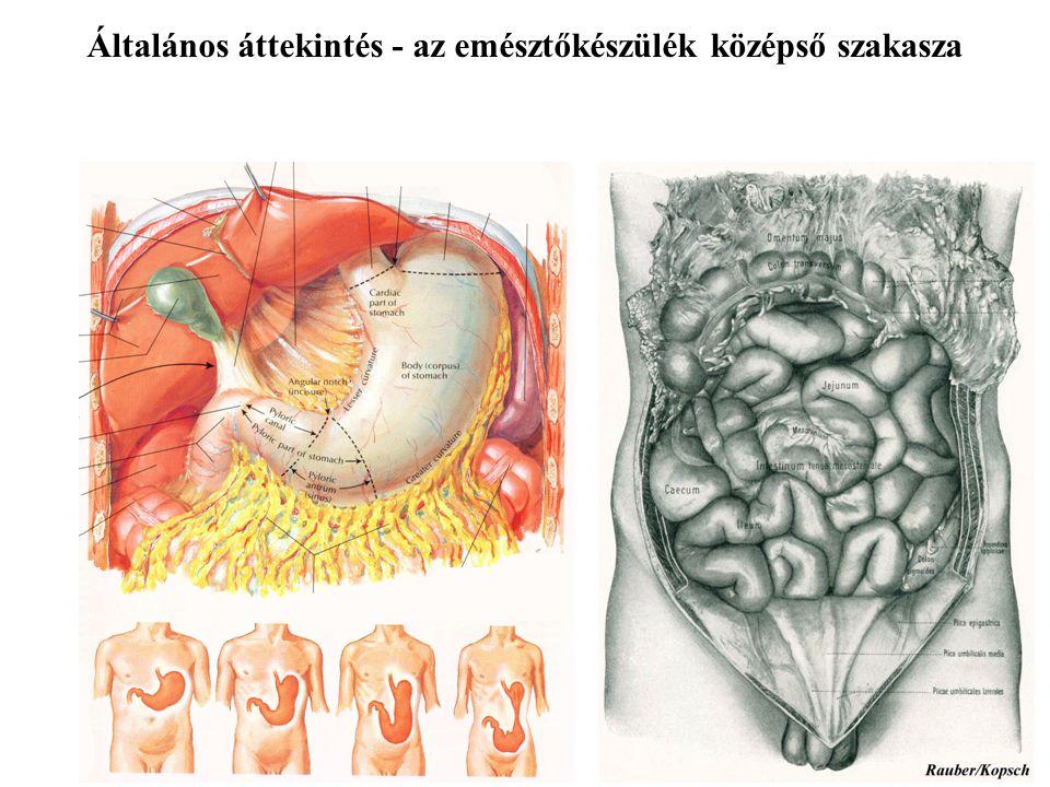 Általános áttekintés - az emésztőkészülék középső szakasza