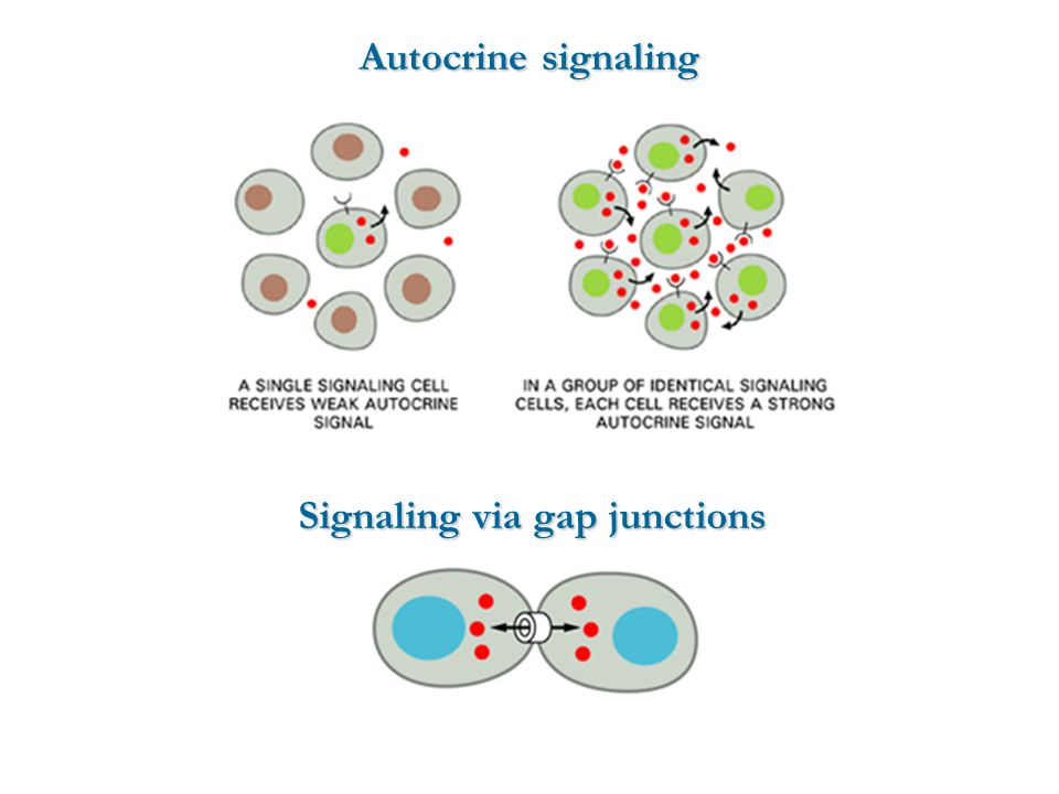 Signaling via gap junctions