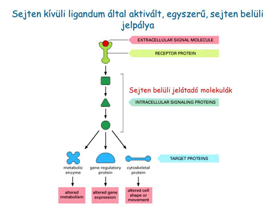 Sejten kívüli ligandum által aktivált, egyszerű, sejten belüli jelpálya