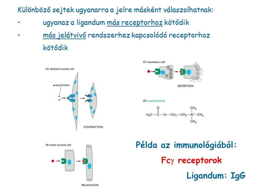 Példa az immunológiából: Fcg receptorok Ligandum: IgG