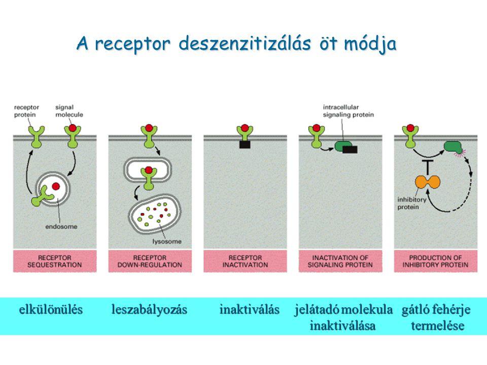 A receptor deszenzitizálás öt módja