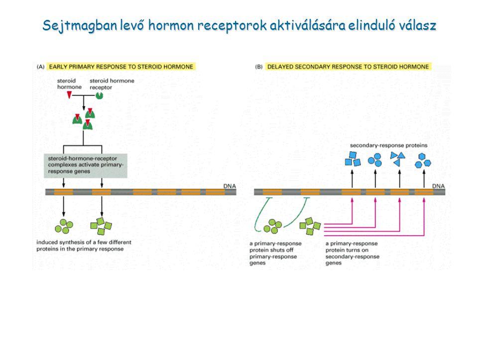 Sejtmagban levő hormon receptorok aktiválására elinduló válasz