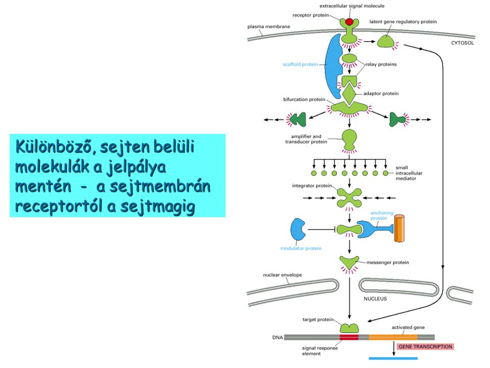 Különböző, sejten belüli molekulák a jelpálya mentén - a sejtmembrán receptortól a sejtmagig