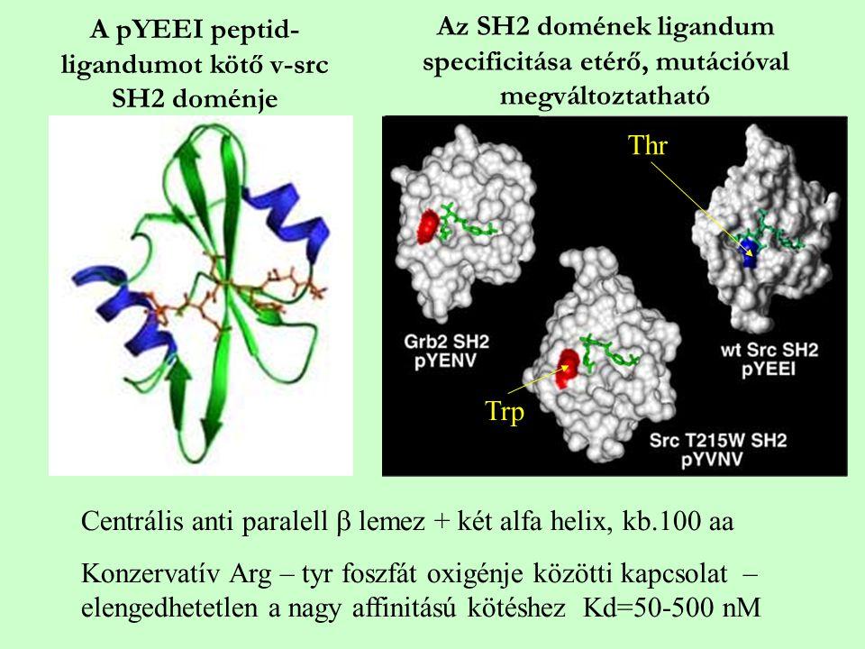 A pYEEI peptid- ligandumot kötő v-src SH2 doménje