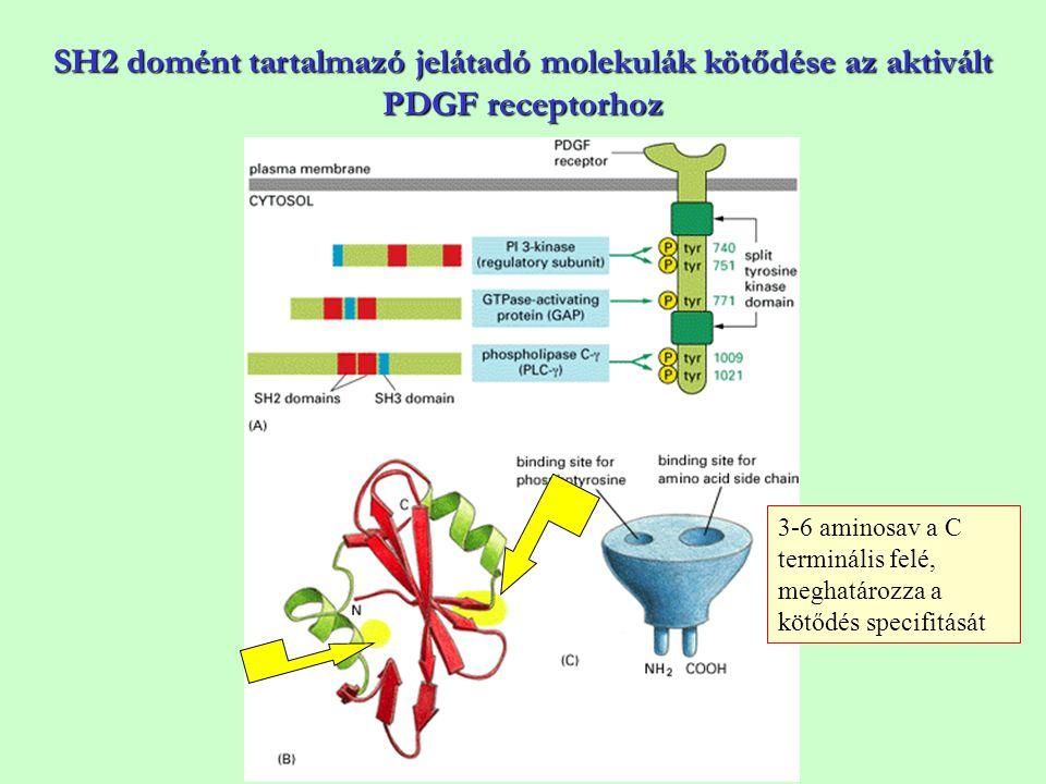 SH2 domént tartalmazó jelátadó molekulák kötődése az aktivált PDGF receptorhoz