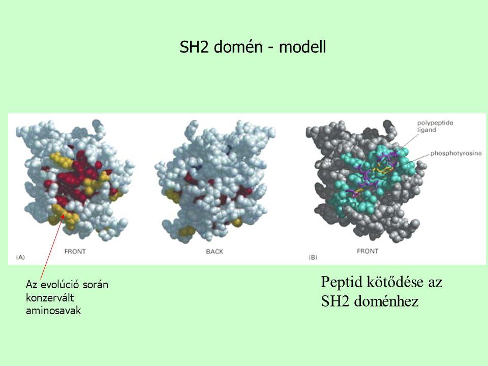 Peptid kötődése az SH2 doménhez