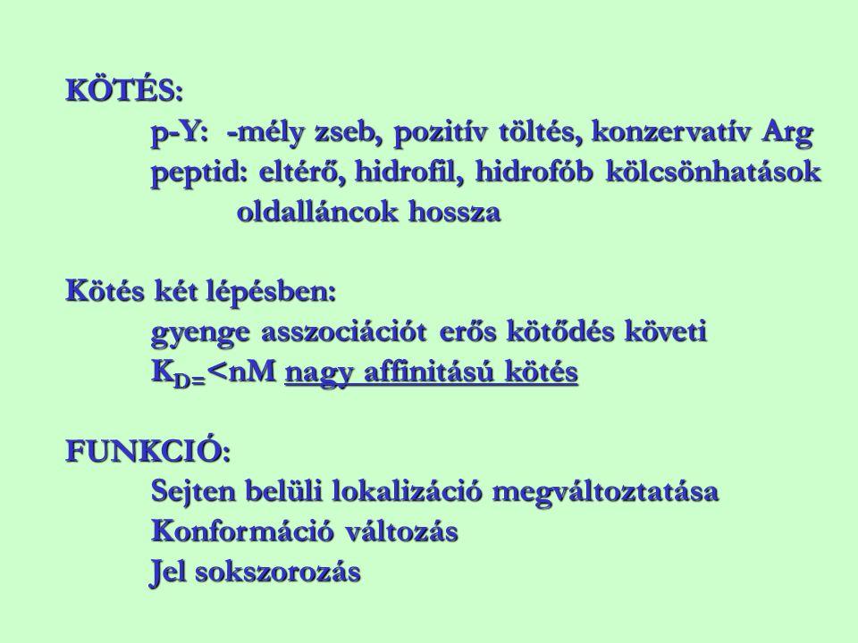 KÖTÉS: p-Y: -mély zseb, pozitív töltés, konzervatív Arg. peptid: eltérő, hidrofil, hidrofób kölcsönhatások.