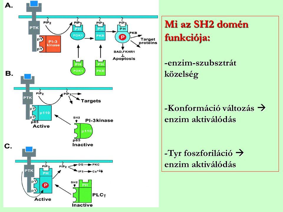 Mi az SH2 domén funkciója: -enzim-szubsztrát közelség