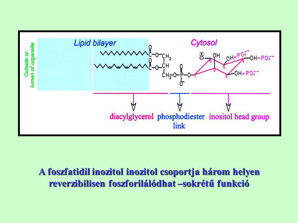 A foszfatidil inozitol inozitol csoportja három helyen reverzibilisen foszforilálódhat –sokrétű funkció