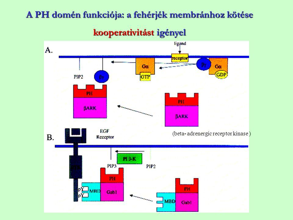 A PH domén funkciója: a fehérjék membránhoz kötése