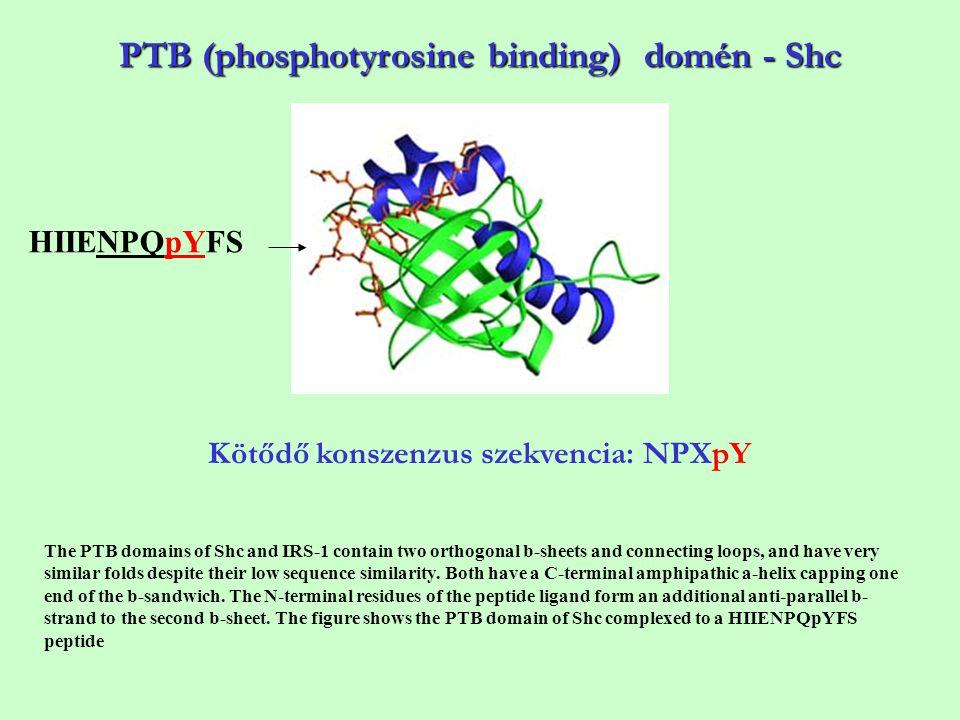 PTB (phosphotyrosine binding) domén - Shc