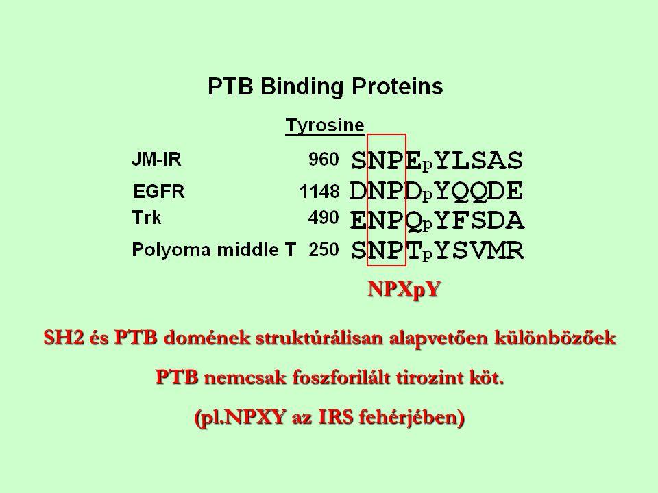 SH2 és PTB domének struktúrálisan alapvetően különbözőek