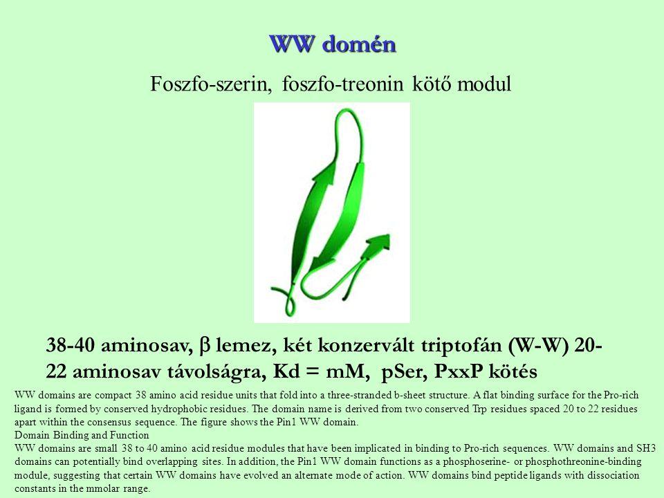 WW domén Foszfo-szerin, foszfo-treonin kötő modul