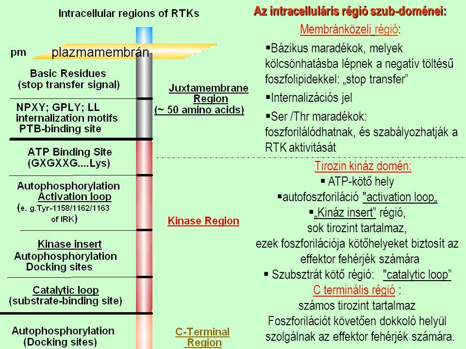 Az intracelluláris régió szub-doménei: Membránközeli régió: