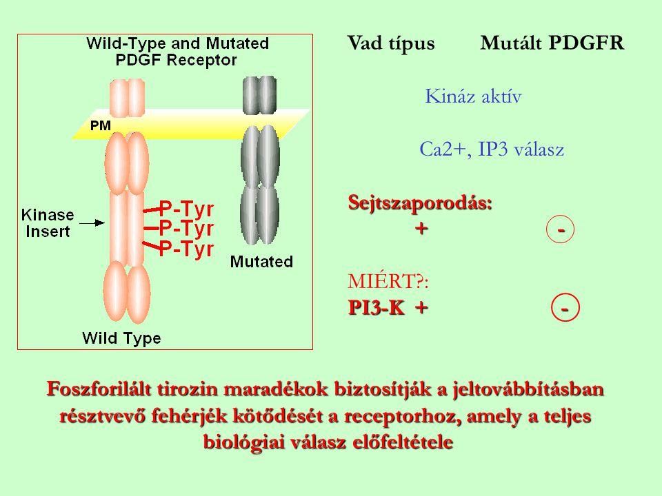 Foszforilált tirozin maradékok biztosítják a jeltovábbításban