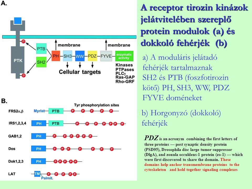 A receptor tirozin kinázok jelátvitelében szereplő protein modulok (a) és dokkoló fehérjék (b)