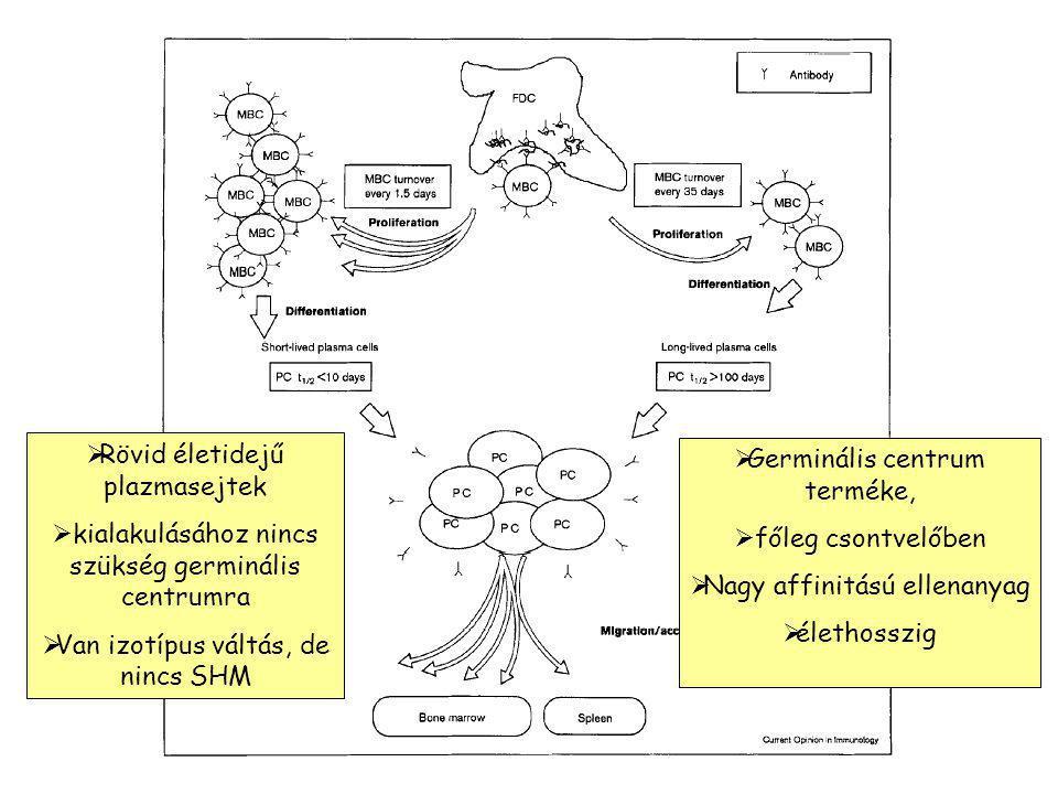 Rövid életidejű plazmasejtek
