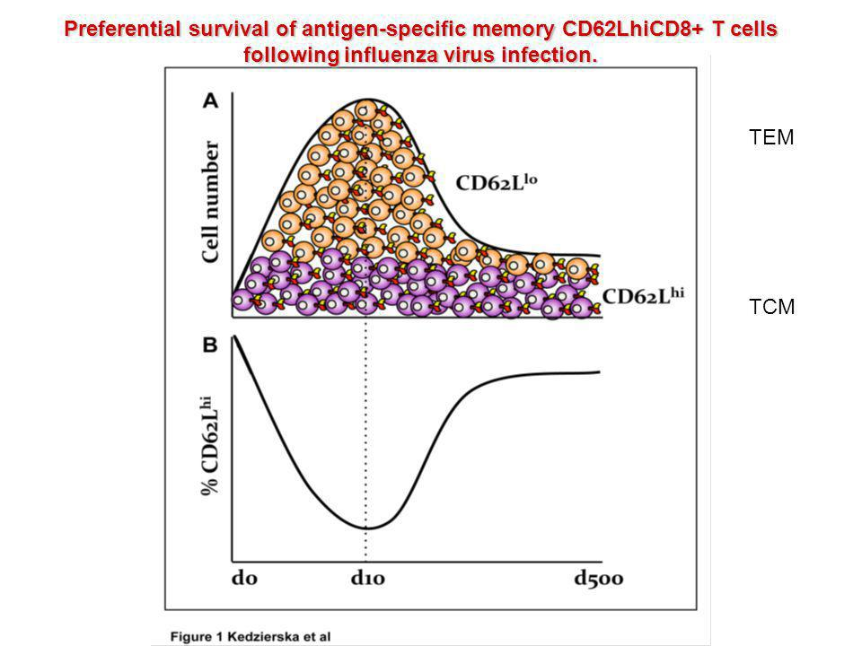 Preferential survival of antigen-specific memory CD62LhiCD8+ T cells