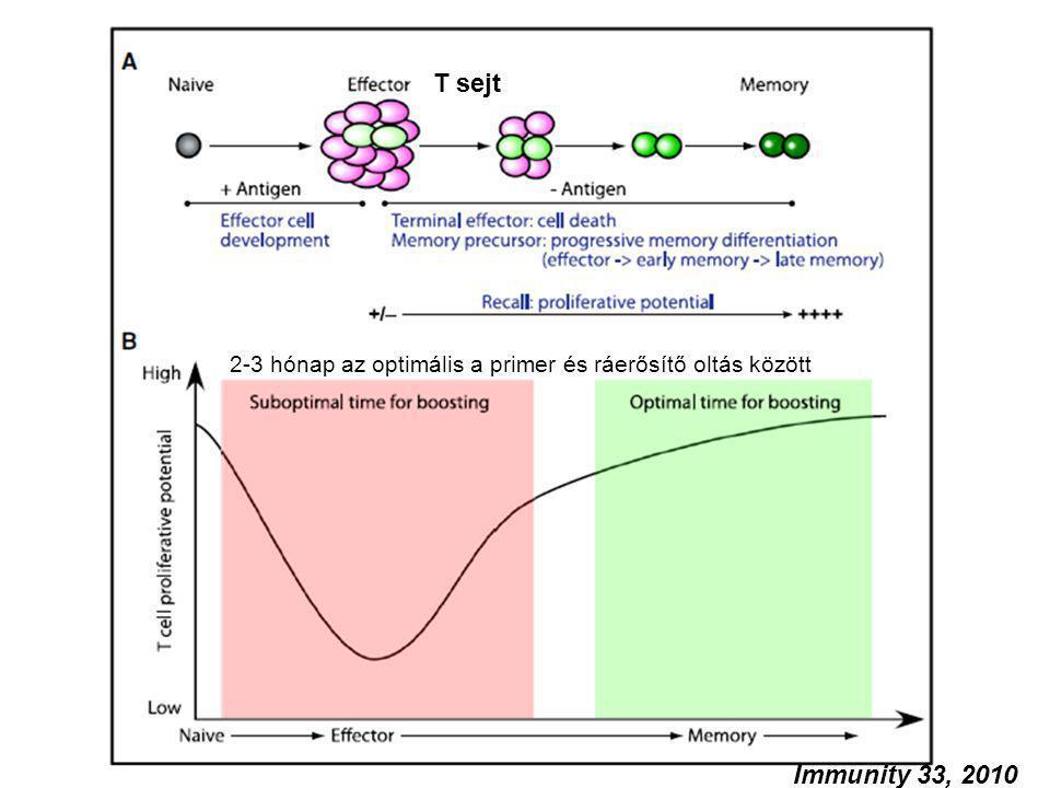 T sejt 2-3 hónap az optimális a primer és ráerősítő oltás között.