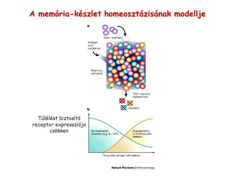 A memória-készlet homeosztázisának modellje