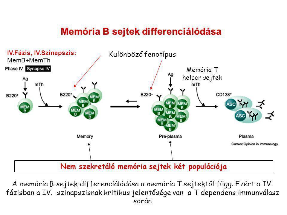 Memória B sejtek differenciálódása