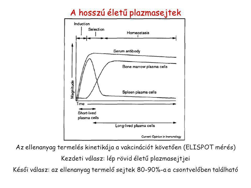 A hosszú életű plazmasejtek
