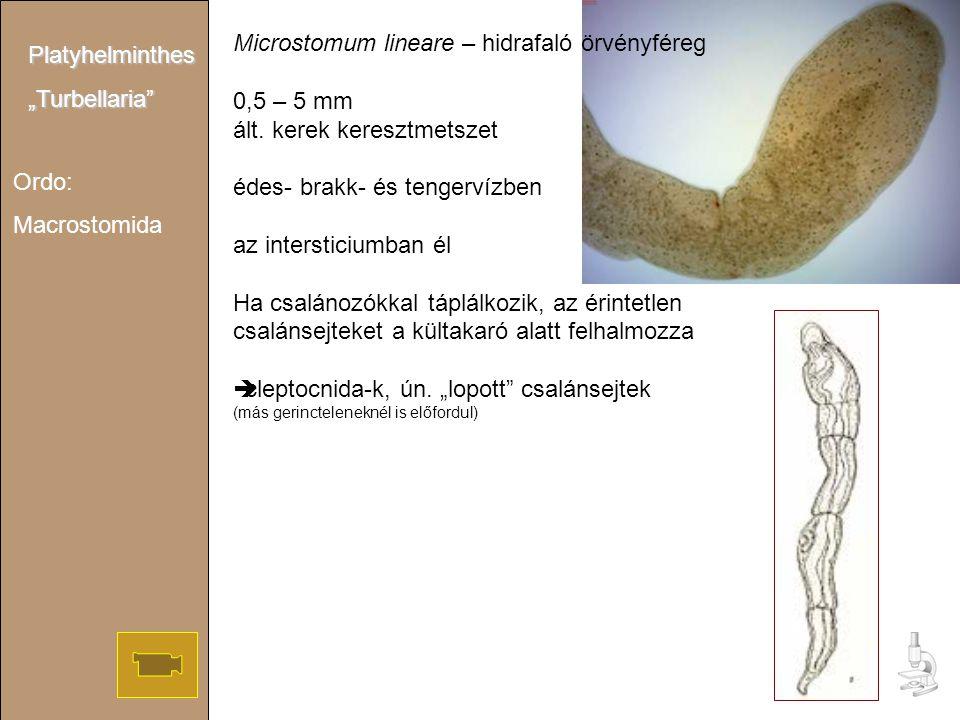 Microstomum lineare – hidrafaló örvényféreg 0,5 – 5 mm