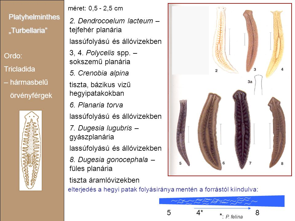 2. Dendrocoelum lacteum – tejfehér planária