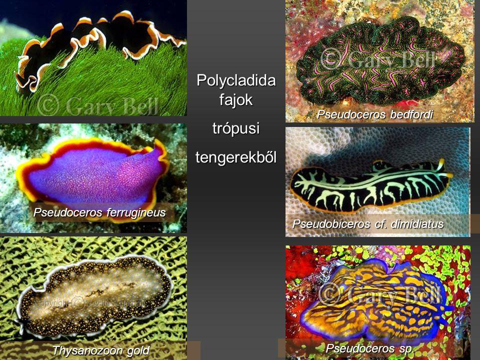 Polycladida fajok trópusi tengerekből Pseudoceros bedfordi