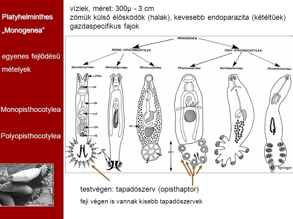 zömük külső élősködők (halak), kevesebb endoparazita (kétéltűek)