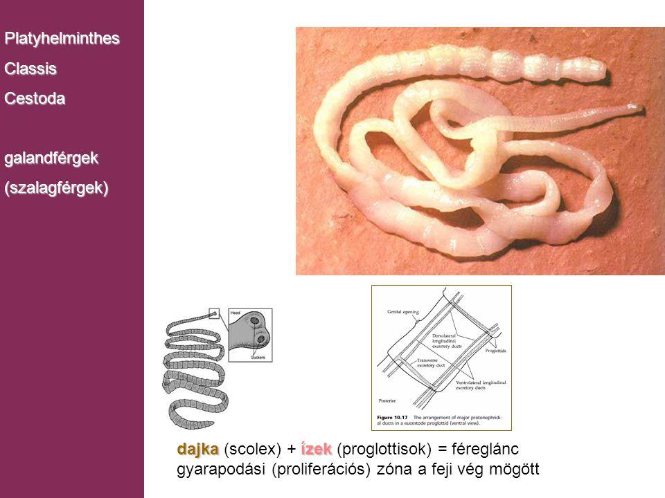 Platyhelminthes Classis. Cestoda. galandférgek. (szalagférgek) Monogenea. dajka (scolex) + ízek (proglottisok) = féreglánc.