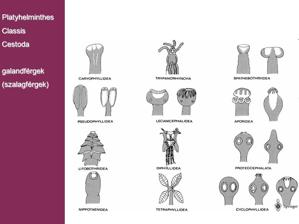 Platyhelminthes Classis Cestoda galandférgek (szalagférgek)