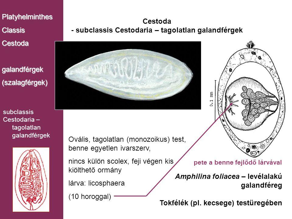 Cestoda - subclassis Cestodaria – tagolatlan galandférgek