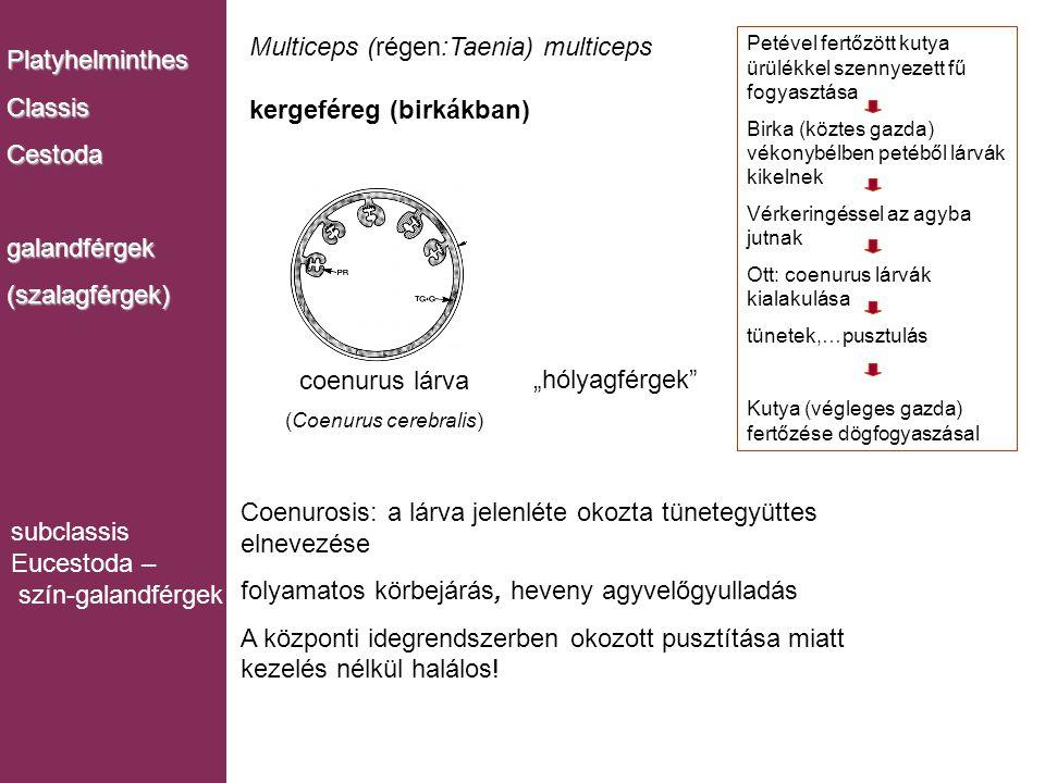 (Coenurus cerebralis)