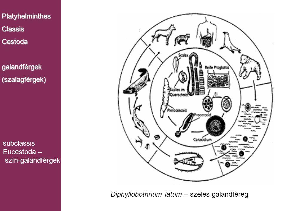 Platyhelminthes Classis. Cestoda. galandférgek. (szalagférgek) subclassis. Eucestoda – szín-galandférgek.