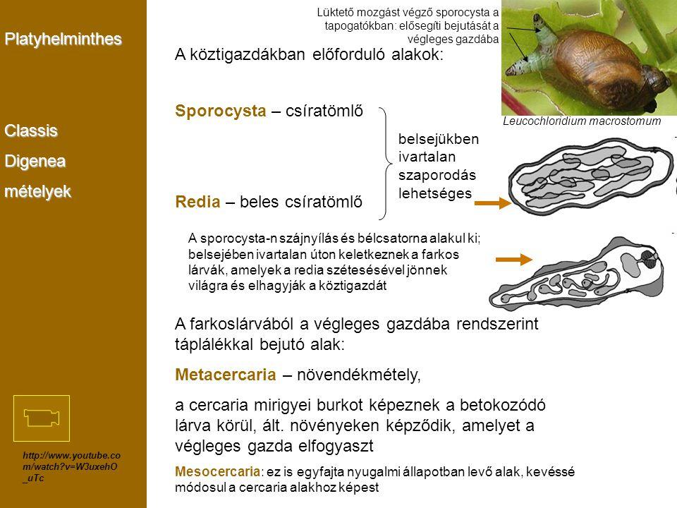 A köztigazdákban előforduló alakok: Sporocysta – csíratömlő
