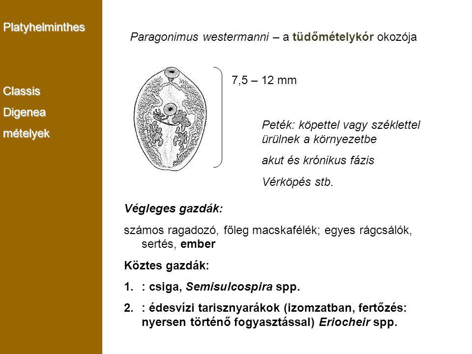 Platyhelminthes Classis. Digenea. mételyek. Paragonimus westermanni – a tüdőmételykór okozója. 7,5 – 12 mm.