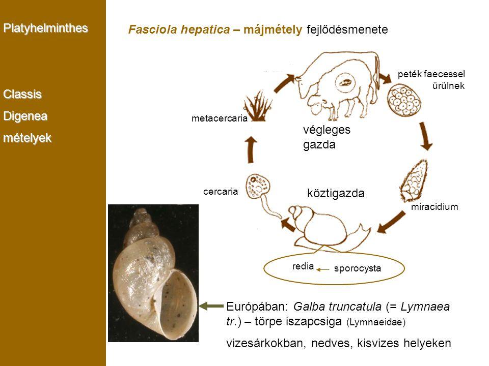 Fasciola hepatica – májmétely fejlődésmenete