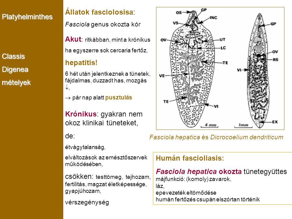 Állatok fasciolosisa: Akut: ritkábban, mint a krónikus